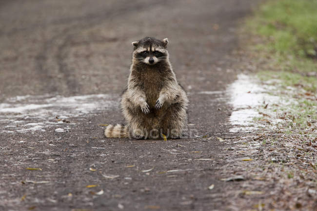 Small raccoon sitting in the road — Stock Photo