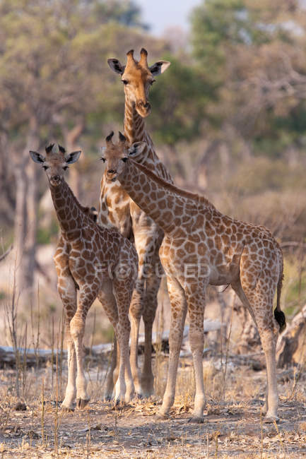 Three Reticulated giraffes — Stock Photo