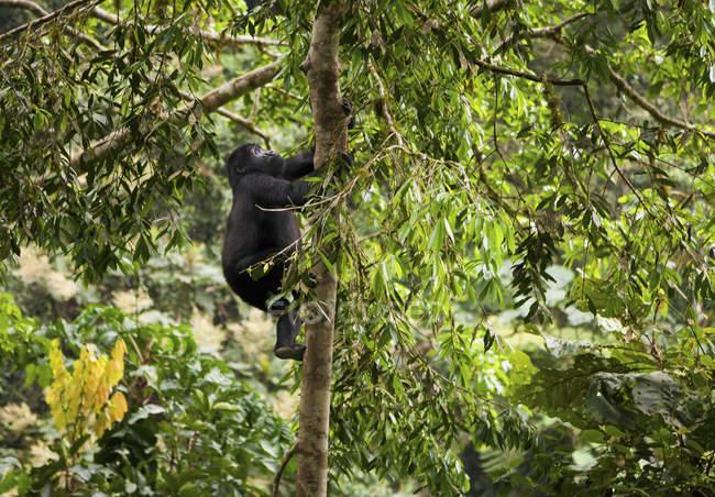 Gorila de montaña juvenil - foto de stock