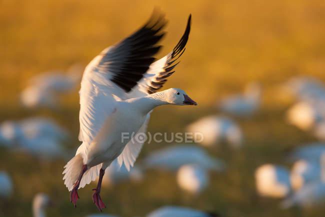 Гуска біла посадки — стокове фото