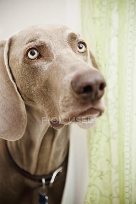 Weimaraner dog in the shower room — Stock Photo