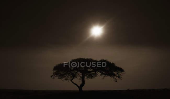 Árvore de acácia ao pôr do sol — Fotografia de Stock