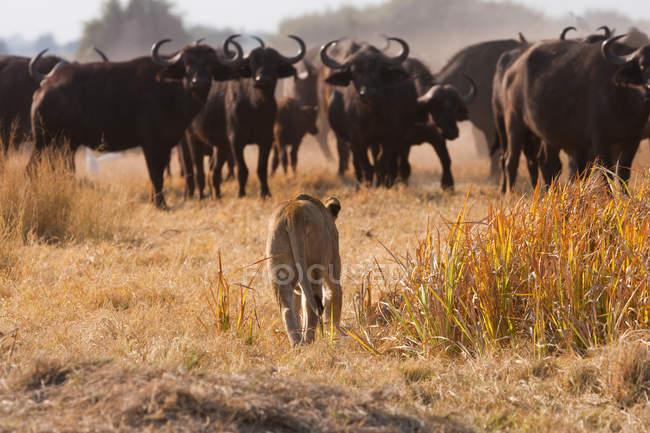 León africano y búfalos en la pradera - foto de stock