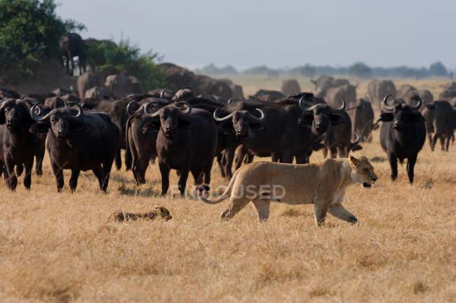 Leão Africano e búfalos em pastagens — Fotografia de Stock