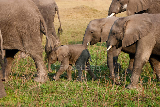 Mandria di elefanti africani — Foto stock