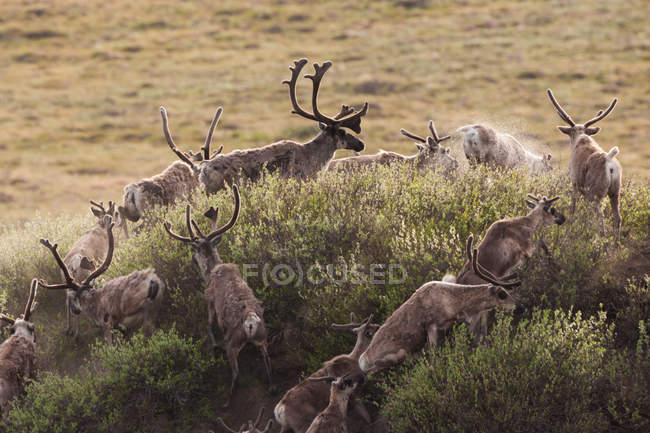 Caribou, Arctic National Wildlife Refuge — Stockfoto