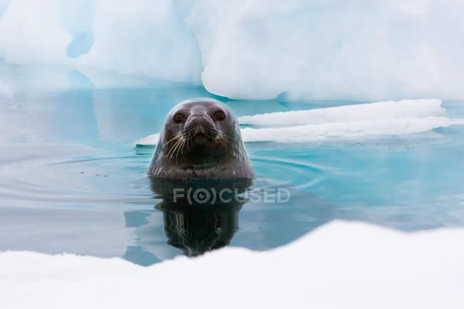 Sello de Weddell mirando hacia arriba fuera del agua - foto de stock