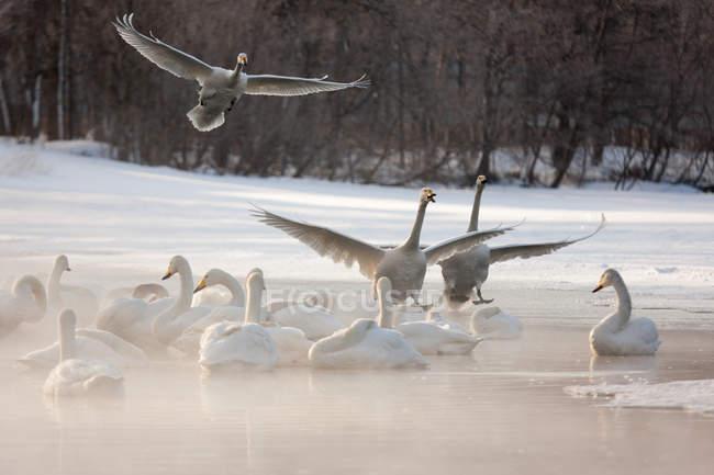 Los cisnes, Hokaido - foto de stock