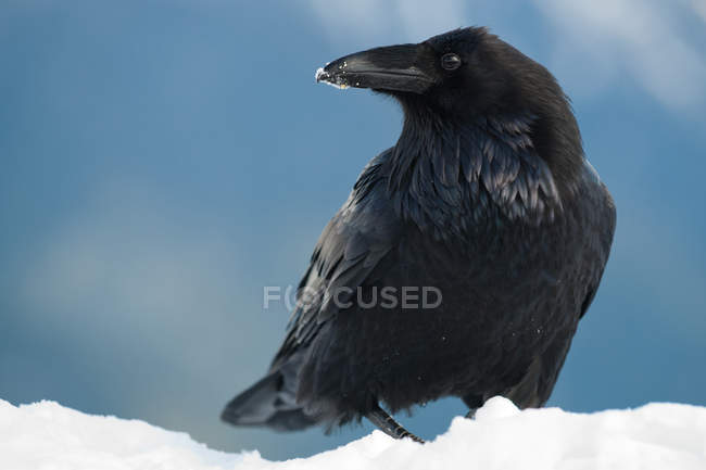 Corvo com neve no bico — Fotografia de Stock
