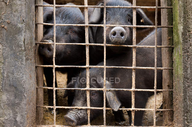 Ganado cerdos, Yuanyang - foto de stock