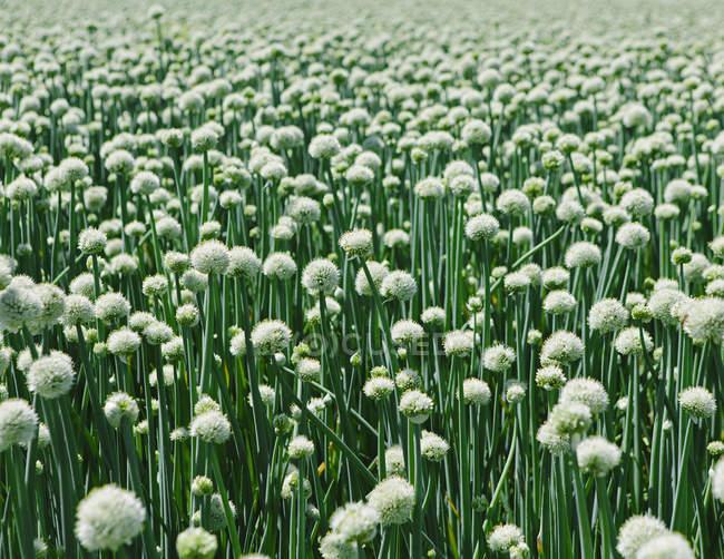 Большой урожай цветущего сладкого лука — стоковое фото