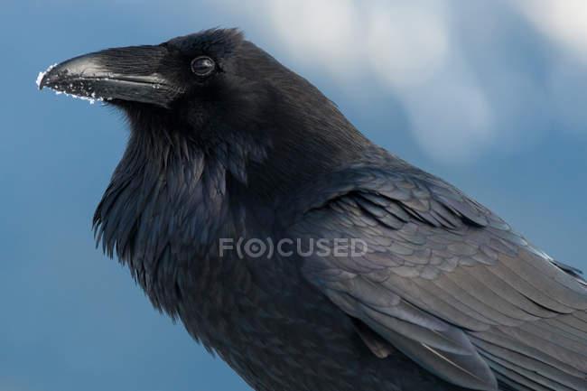 Corbeau avec neige sur le bec — Photo de stock