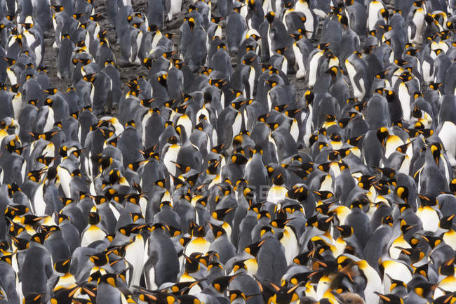 King Penguins - bird colony — Stock Photo