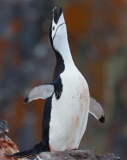 Pinne da stretching pinguino Chinstrap — Foto stock