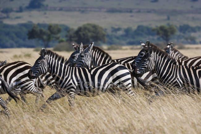 Zebras laufen — Stockfoto