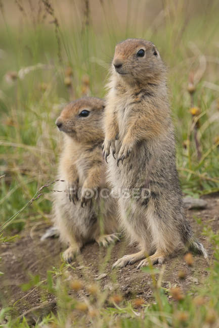 Arctic ground squirrels — Stock Photo