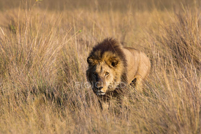 African lion marchant au champ — Photo de stock