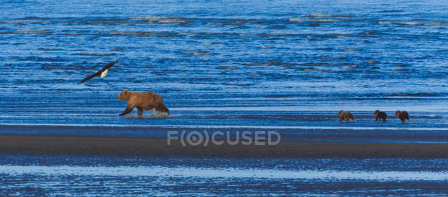 Бурые медведи и детёныши — стоковое фото