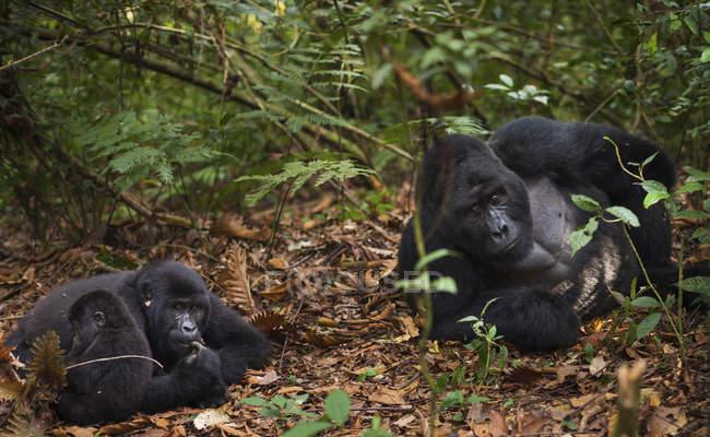 Juvenil e gorilas de montanha — Fotografia de Stock