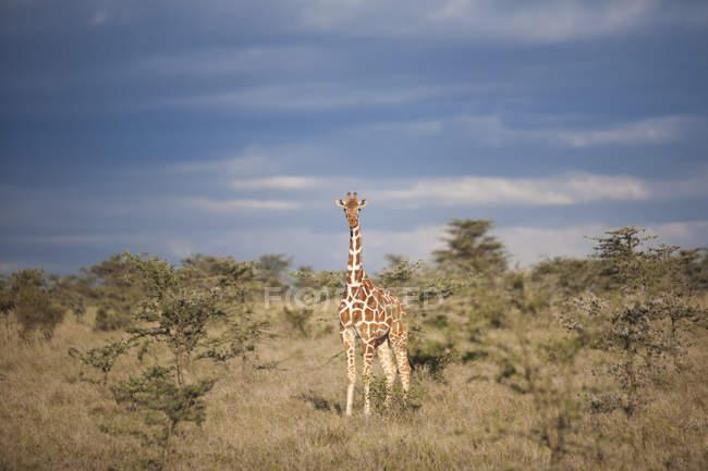 СЕТЧАТО Жираф, Кения — стоковое фото