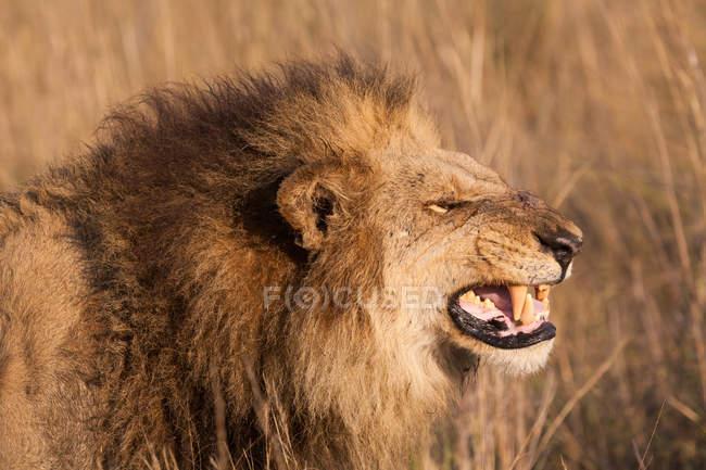 Leone africano ringhiando — Foto stock