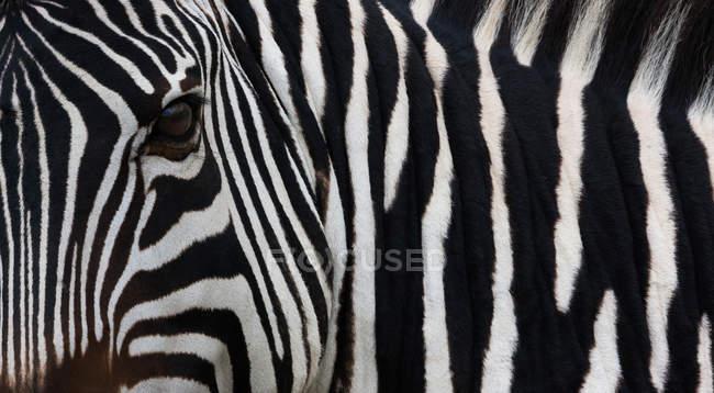 Chiuda sull'immagine della Zebra — Foto stock