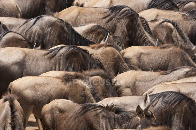 Mandria di GNU in savana — Foto stock