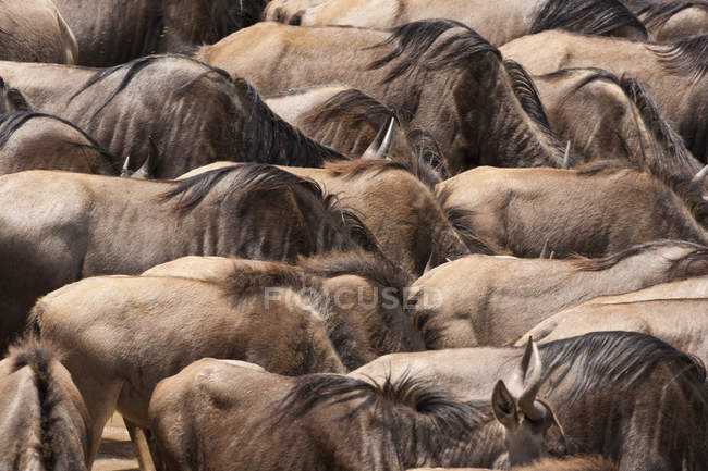 Стадо гну в саванне — стоковое фото