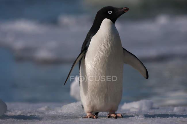 Adelie pinguino in natura — Foto stock
