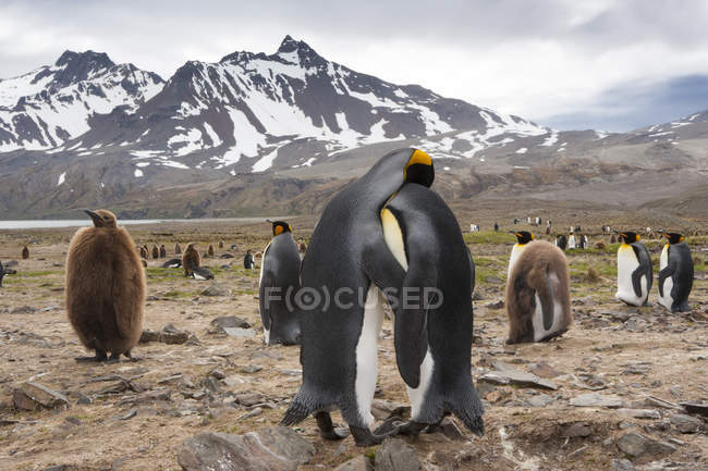 Re Penguins - Colonia di uccelli — Foto stock