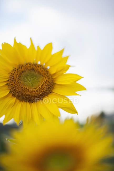 Большие желтые Подсолнухи. — стоковое фото