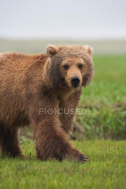 Urso-pardo, Katmai National Park — Fotografia de Stock
