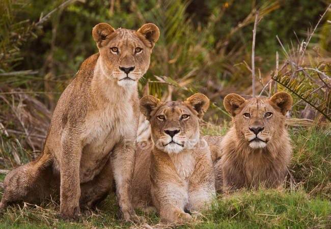 African lions in row on ground — Stock Photo