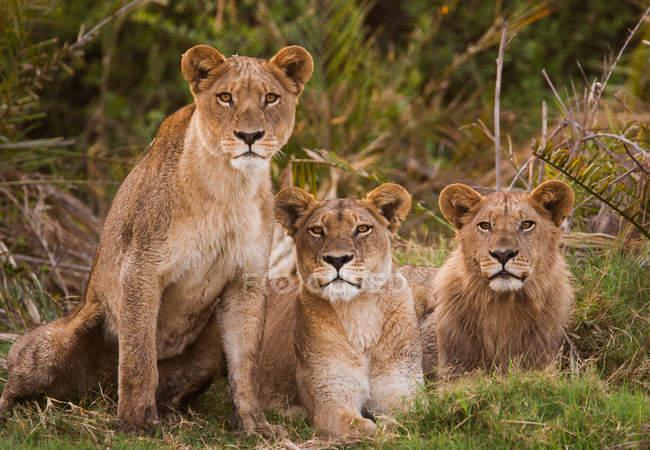 Leões africanos em fila no chão — Fotografia de Stock