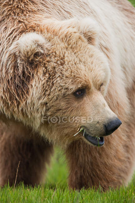 Brown bear, Katmai National Park — Stock Photo
