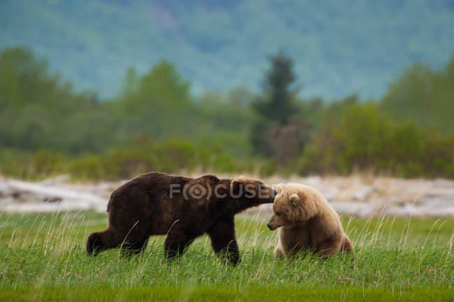 Ursos pardos, Katmai National Park — Fotografia de Stock