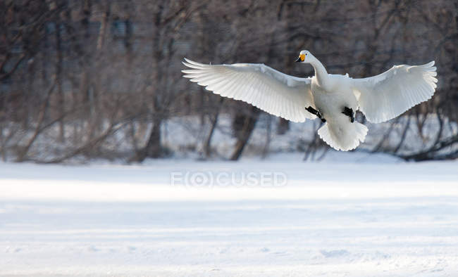 Cigno selvatico, and safeguards — Foto stock