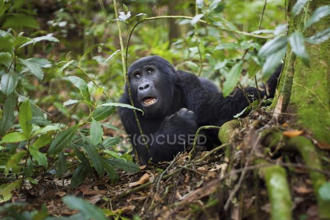 Gorila da montanha, Parque Nacional dos vulcões — Fotografia de Stock