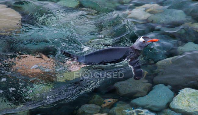 Pinguim-gentoo nadando no mar — Fotografia de Stock