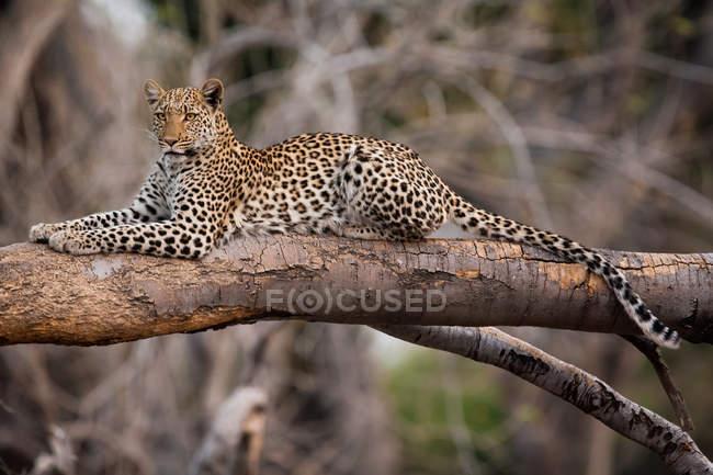 Leopardo (cheetah) con su presa en el parque nacional kruger. - foto de stock