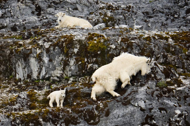 Cabras da montanha, Alasca — Fotografia de Stock