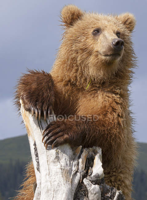 Brown bear, Alaska, USA — Stock Photo
