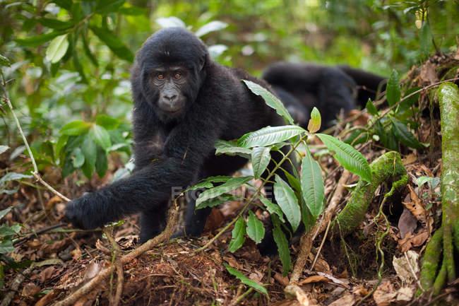 Gorila da montanha juvenil — Fotografia de Stock