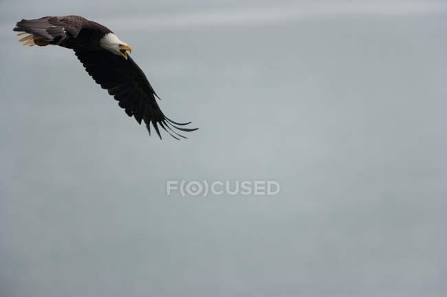 Águila calva volando en el aire - foto de stock
