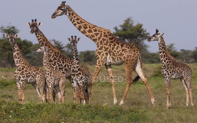 Невеликою групою Масаї жирафи — стокове фото