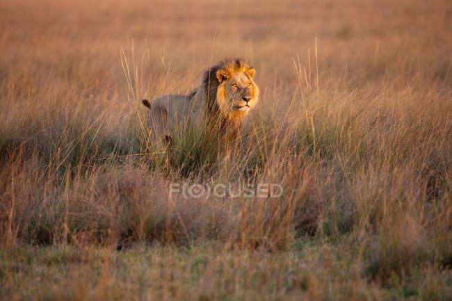 African lion walking in field — Stock Photo