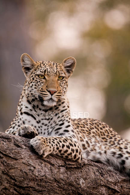 Leopard, Chobe National Park — Stock Photo