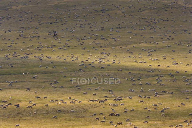 Herd of animals migrating — Stock Photo