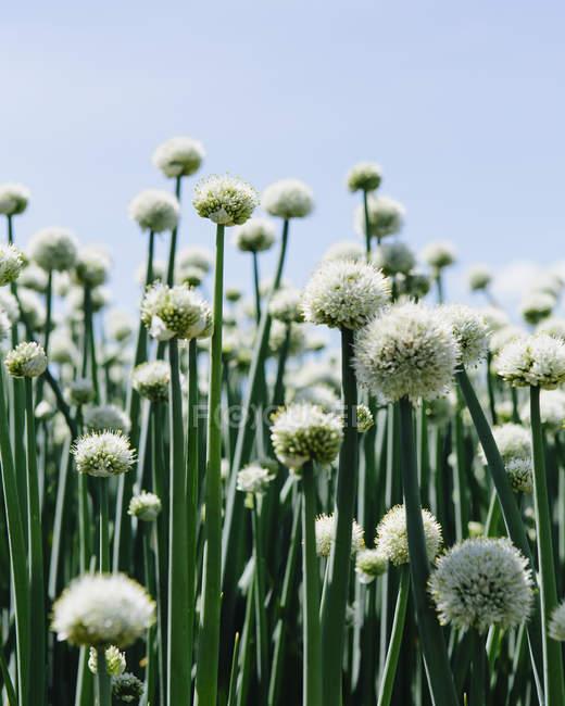Небувалий урожай квітучий солодкого лука — стокове фото