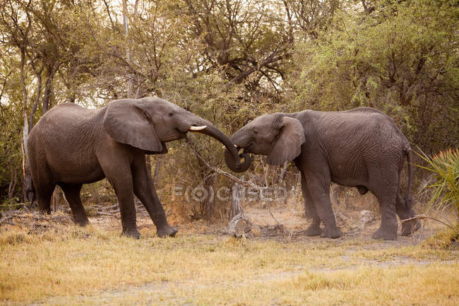 African elephants at Chobe National Park — Stock Photo